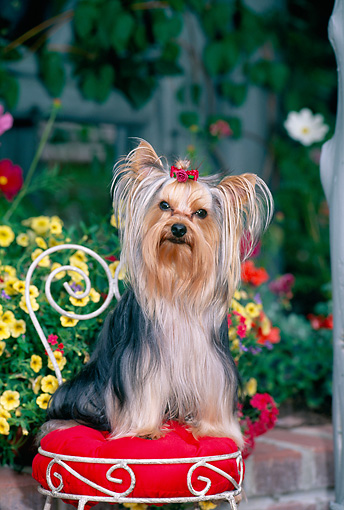 DOG 02 CE0150 01 © Kimball Stock Yorkshire Terrier Sitting On Chair In Garden