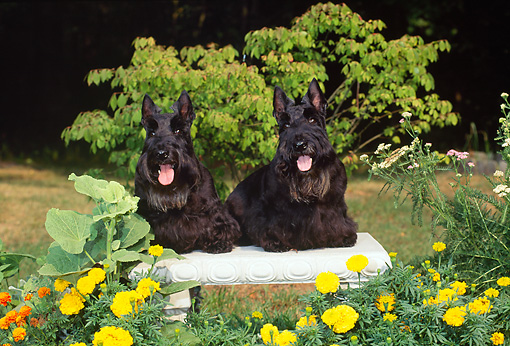 DOG 02 CE0151 01 © Kimball Stock Black Scottish Terriers Sitting On Bench In Garden