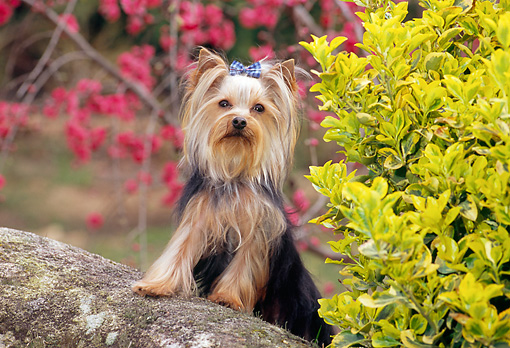 DOG 02 CE0152 01 © Kimball Stock Yorkshire Terrier Standing On Rock By Pink Blossoms