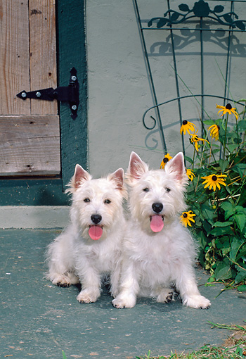 DOG 02 CE0155 01 © Kimball Stock West Highland Terriers Sitting In Front Of House