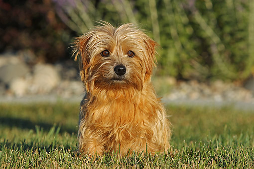 DOG 02 DB0001 01 © Kimball Stock Norfolk Terrier Sitting In Grass