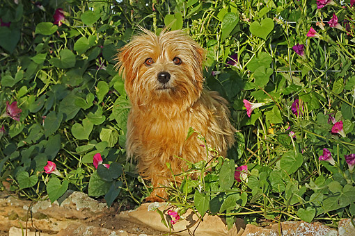 DOG 02 DB0002 01 © Kimball Stock Norfolk Terrier Sitting In Bush