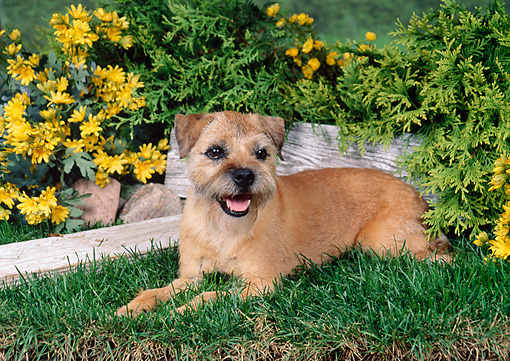 DOG 02 FA0056 01 © Kimball Stock Border Terrier Laying On Grass By Yellow Flowers