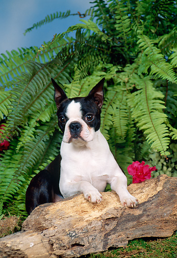 DOG 02 FA0058 01 © Kimball Stock Boston Terrier Leaning On Log By Fern