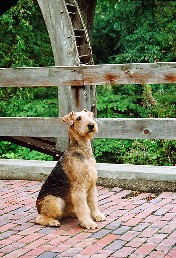 DOG 02 FA0061 01 © Kimball Stock Airedale Terrier Sitting On Bridge