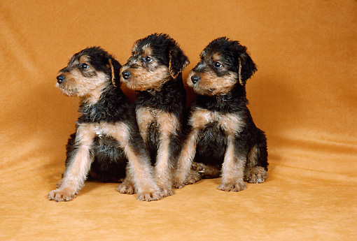 DOG 02 FA0065 01 © Kimball Stock Three Airedale Terrier Puppies Sitting In Studio