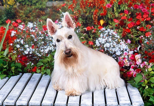 DOG 02 FA0067 01 © Kimball Stock Tan Scottish Terrier Sitting On Bench By Flowers.