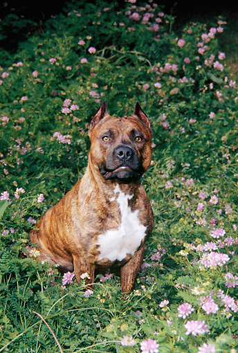 DOG 02 FA0068 01 © Kimball Stock American Staffordshire Terrier Sitting In Ferns And Pink Flowers
