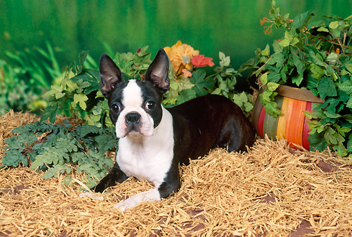 DOG 02 FA0069 01 © Kimball Stock Boston Terrier Laying In Hay By Potted Plants