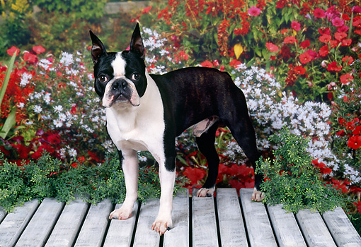 DOG 02 FA0071 01 © Kimball Stock Boston Terrier Standing On Wooden Deck By Red And White Flowers