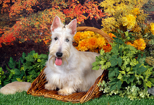 DOG 02 FA0074 01 © Kimball Stock Scottish Terrier Sitting In Basket In Garden