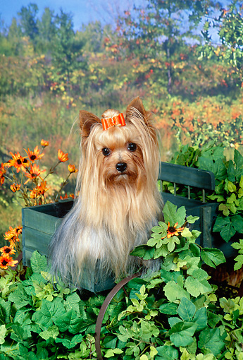 DOG 02 FA0076 01 © Kimball Stock Yorkshire Terrier Sitting In Wooden Box In Garden