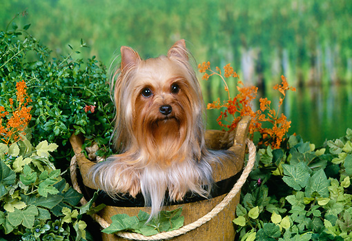 DOG 02 FA0077 01 © Kimball Stock Yorkshire Terrier Sitting In Wooden Bucket By Pond