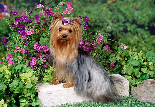 DOG 02 FA0079 01 © Kimball Stock Yorkshire Terrier Sitting On Wood Block In Garden