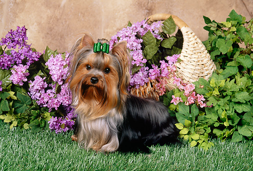 DOG 02 FA0080 01 © Kimball Stock Yorkshire Terrier Sitting On Grass In Garden