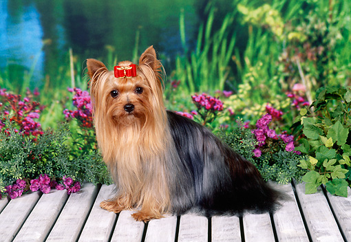 DOG 02 FA0081 01 © Kimball Stock Yorkshire Terrier Sitting On Wooden Deck By Pond And Pink Flowers