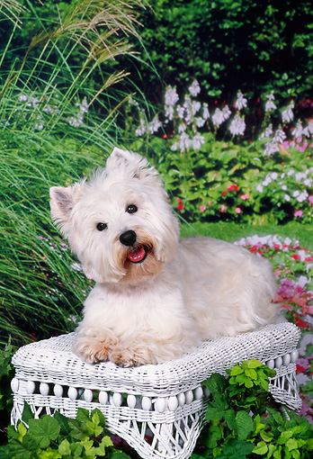 DOG 02 FA0084 01 © Kimball Stock West Highland Terrier Laying On Wicker Bench In Garden