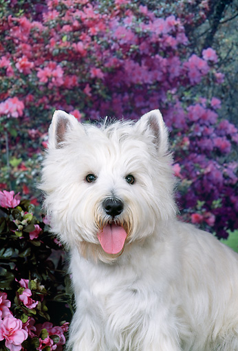 DOG 02 FA0086 01 © Kimball Stock Head Shot Of West Highland Terrier In Garden