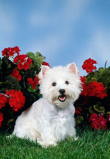 DOG 02 FA0088 01 © Kimball Stock West Highland Terrier Sitting On Grass By Red Flowers