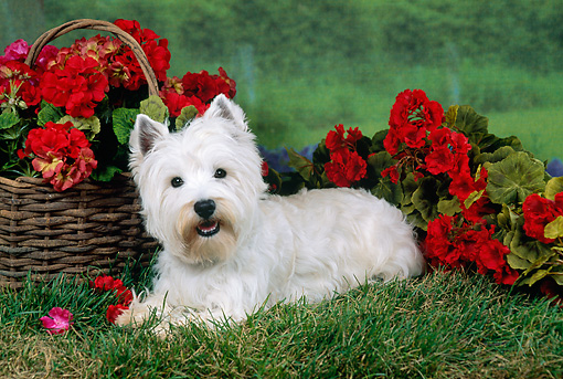 DOG 02 FA0089 01 © Kimball Stock West Highland Terrier Laying On Grass By Red Flowers