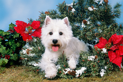 DOG 02 FA0090 01 © Kimball Stock West Highland Terrier Laying In Christmas Wreath And Holly