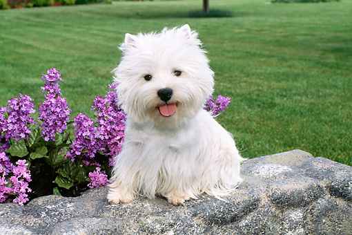 DOG 02 FA0091 01 © Kimball Stock West Highland Terrier Sitting On Stone Wall By Lavender Flowers