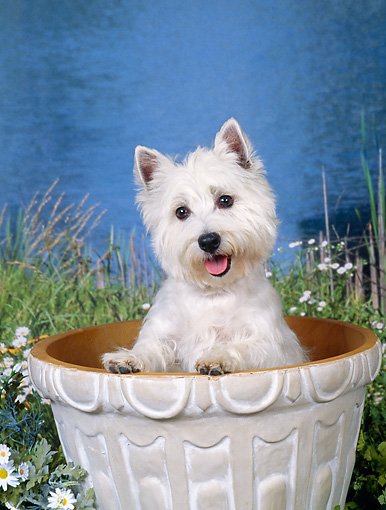 DOG 02 FA0092 01 © Kimball Stock West Highland Terrier Sitting In Flower Pot By Pond