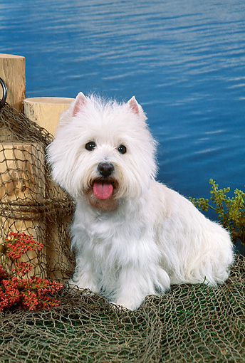 DOG 02 FA0093 01 © Kimball Stock West Highland Terrier Sitting On Fishing Net By Water
