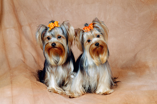 DOG 02 FA0096 01 © Kimball Stock Yorkshire Terriers Sitting In Studio
