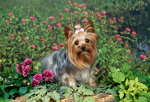 DOG 02 FA0098 01 © Kimball Stock Yorkshire Terrier Sitting In Garden