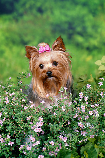 DOG 02 FA0099 01 © Kimball Stock Yorkshire Terrier Sitting In Garden