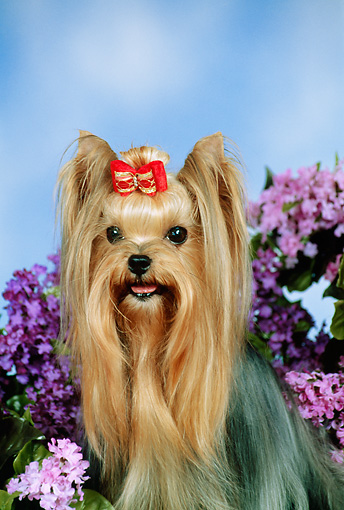 DOG 02 FA0101 01 © Kimball Stock Close-Up Of Yorkshire Terrier Sitting In Garden