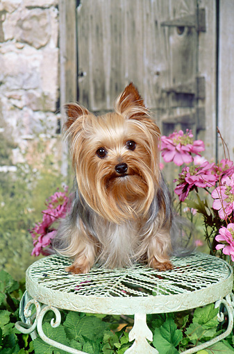 DOG 02 FA0102 01 © Kimball Stock Yorkshire Terrier Sitting On Stool In Garden