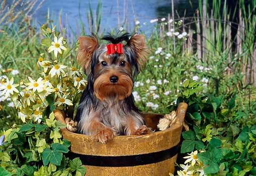 DOG 02 FA0104 01 © Kimball Stock Yorkshire Terrier Sitting In Wooden Bucket By Pond