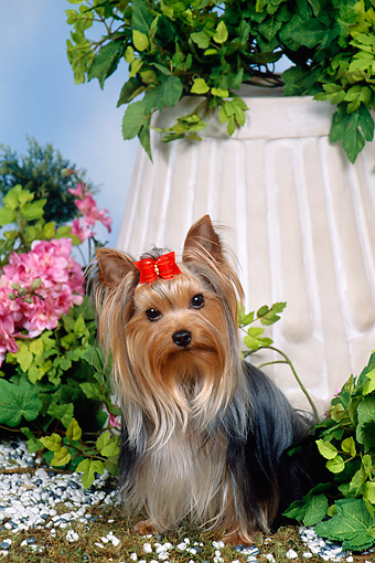 DOG 02 FA0105 01 © Kimball Stock Yorkshire Terrier Sitting In Garden