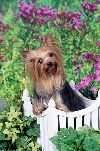 DOG 02 FA0106 01 © Kimball Stock Yorkshire Terrier Leaning On Picket Fence In Garden