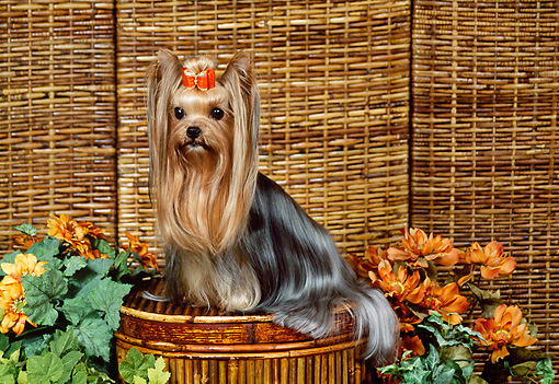 DOG 02 FA0107 01 © Kimball Stock Yorkshire Terrier Sitting On Wicker Basket By Orange Flowers