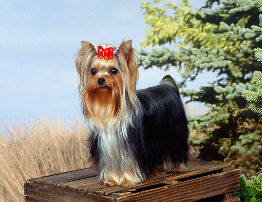 DOG 02 FA0108 01 © Kimball Stock Yorkshire Terrier Standing On Wooden Crate In Meadow