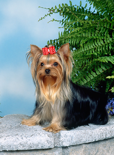 DOG 02 FA0110 01 © Kimball Stock Yorkshire Terrier Sitting On Stone Wall By Fern