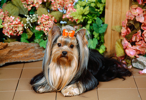 DOG 02 FA0111 01 © Kimball Stock Yorkshire Terrier Laying On Tile By Pink Flowers