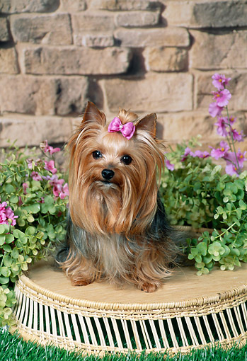 DOG 02 FA0116 01 © Kimball Stock Yorkshire Terrier Sitting On Basket In Garden