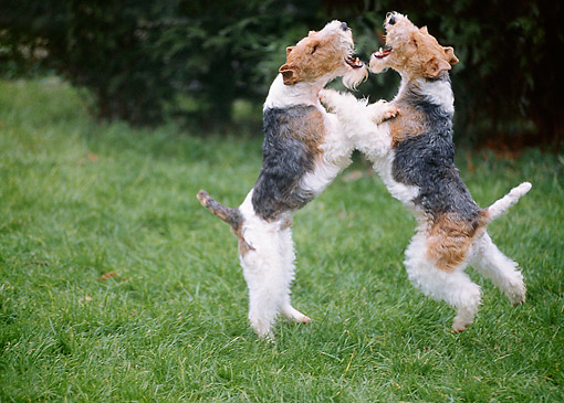 DOG 02 GL0002 01 © Kimball Stock Two Fox Terriers Play Fighting On Grass
