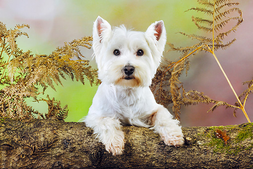 DOG 02 JD0001 01 © Kimball Stock West Highland Terrier Looking Over Log