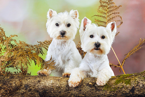 DOG 02 JD0002 01 © Kimball Stock Two West Highland Terriers Looking Over Log