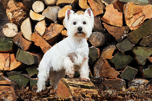 DOG 02 JD0004 01 © Kimball Stock West Highland Terrier Standing By Log Pile