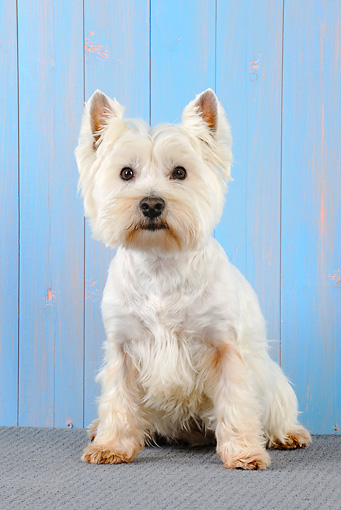 DOG 02 JD0005 01 © Kimball Stock West Highland Terrier Sitting By Blue Wall