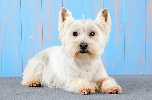 DOG 02 JD0006 01 © Kimball Stock West Highland Terrier Laying By Blue Wall