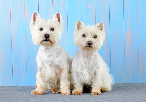 DOG 02 JD0007 01 © Kimball Stock Two West Highland Terriers Sitting By Blue Wall