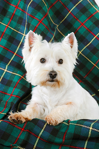 DOG 02 JD0008 01 © Kimball Stock West Highland Terrier Laying On Plaid Blanket