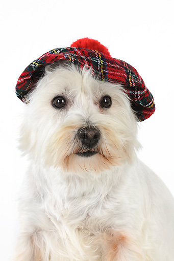 DOG 02 JD0009 01 © Kimball Stock West Highland Terrier Wearing Plaid Hat On White Seamless